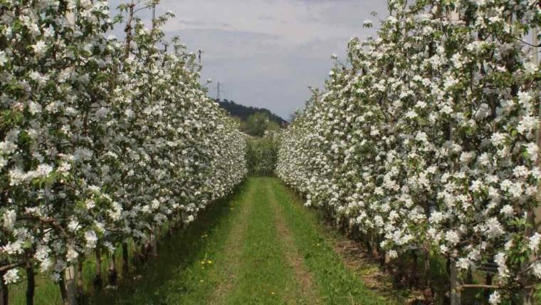 Chiuso | Domanda di contributo rinnovo impianti di melo 2018