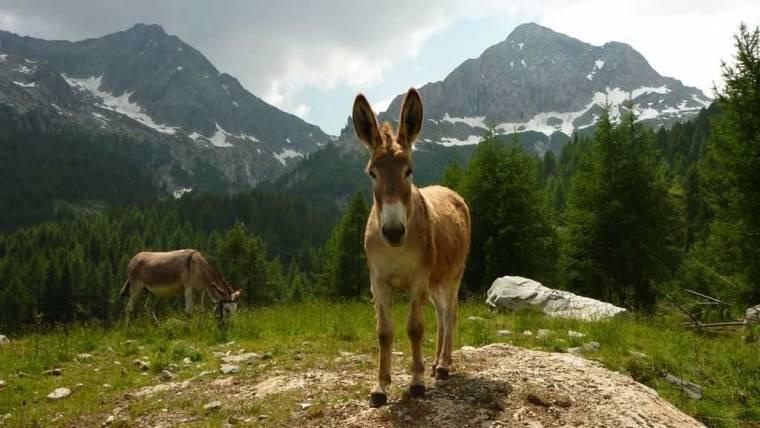 Utilizzo degli animali da lavoro nell'agricoltura di montagna