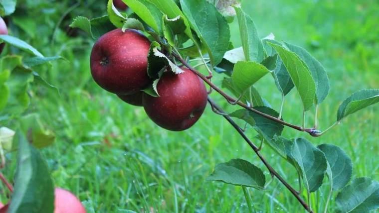 Certificazione delle piante e dei materiali di moltiplicazione dei fruttiferi