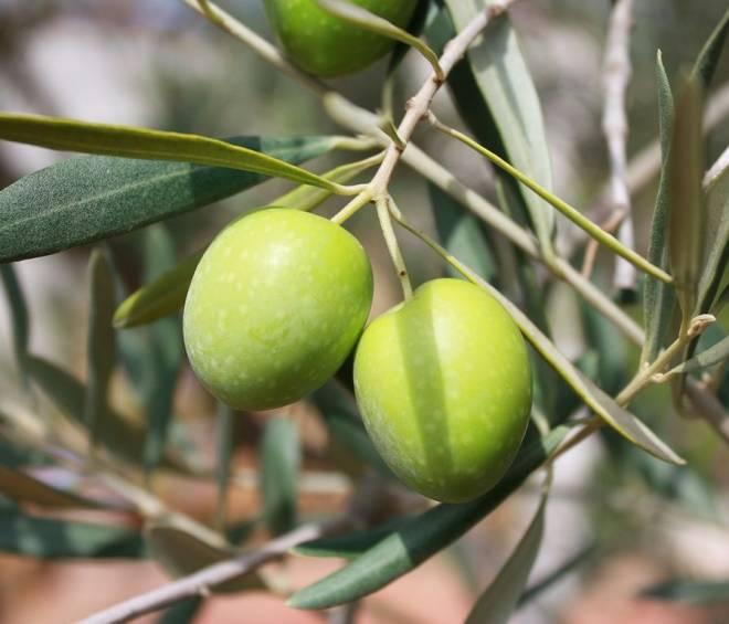 Guida per scelta e conservazione dell'olio extra vergine di oliva