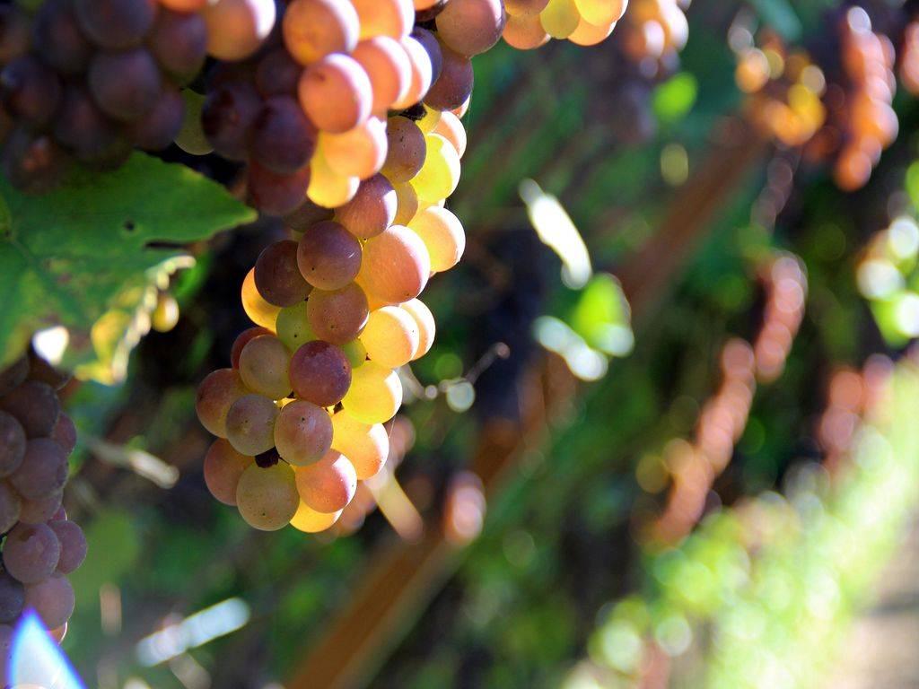 Contributi per il contenimento volontario delle produzioni di vini DOC e IGT
