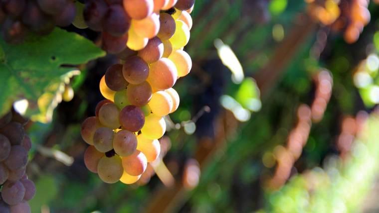 Dichiarazioni obbligatorie di vendemmia e di produzione di vino e/o mosto