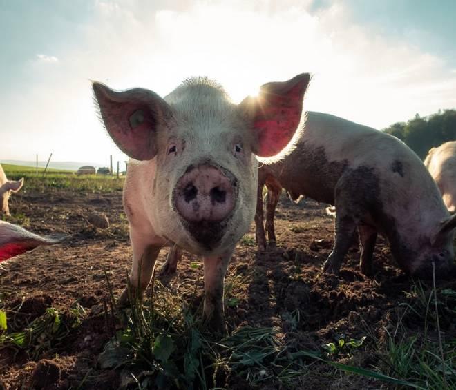 Export carne suina verso la Russia
