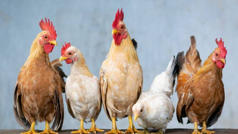 Influenza aviaria nei Paesi Bassi