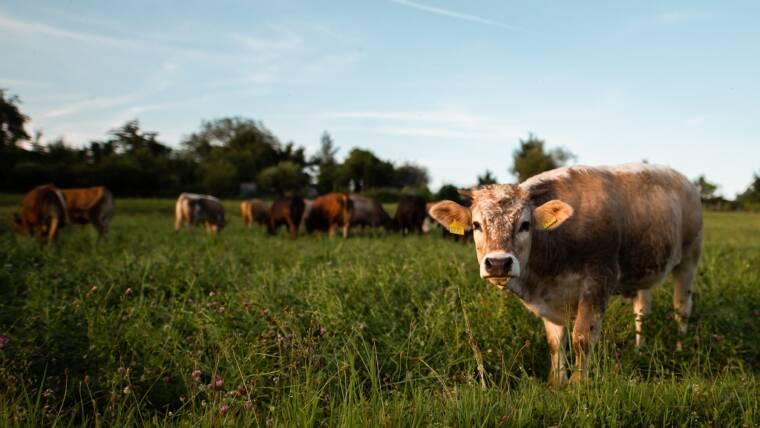 Interventi a favore delle filiere zootecniche della carne da vitello